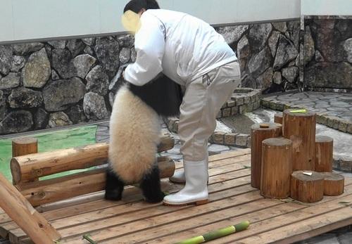 撤収する飼育員さんを追いかける結浜(16).jpg