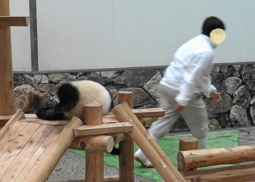 撤収する飼育員さんを追いかける結浜(19).jpg