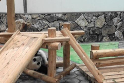 撤収する飼育員さんを追いかける結浜(20).jpg