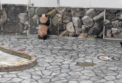 清掃中に飼育員さんに遊んでもらう結浜(27).jpg
