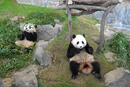 竹を食べる桜浜と、ようやく竹を食べ始める桃浜(3).jpg