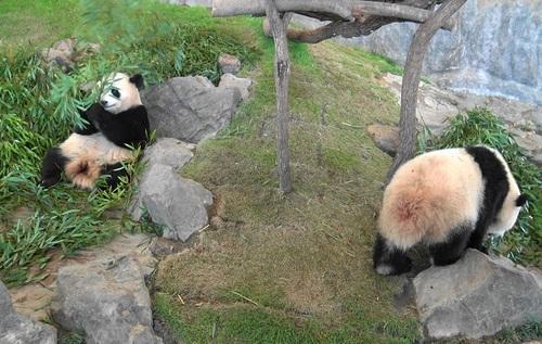 竹を食べる桜浜と、ようやく竹を食べ始める桃浜(8).jpg