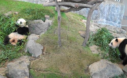 竹を食べる桜浜と、ようやく竹を食べ始める桃浜(9).jpg