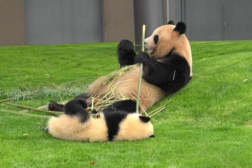 mission co-panda~ママの竹を強奪せよ♪~(1).jpg