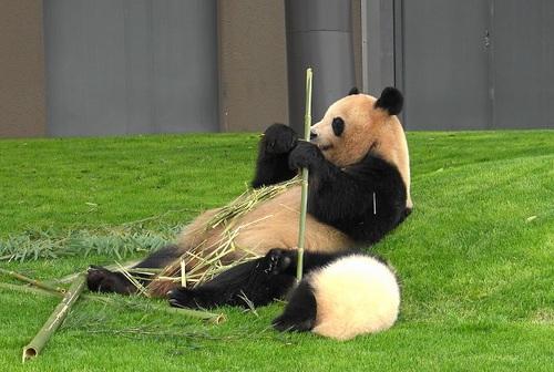 mission co-panda~ママの竹を強奪せよ♪~(10).jpg