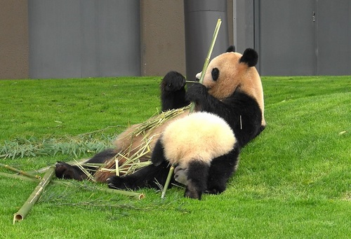 mission co-panda~ママの竹を強奪せよ♪~(11).jpg