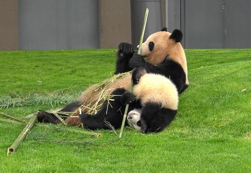 mission co-panda~ママの竹を強奪せよ♪~(12).jpg