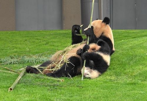 mission co-panda~ママの竹を強奪せよ♪~(13).jpg