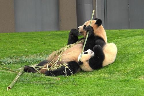 mission co-panda~ママの竹を強奪せよ♪~(14).jpg