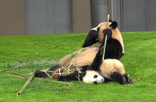 mission co-panda~ママの竹を強奪せよ♪~(15).jpg