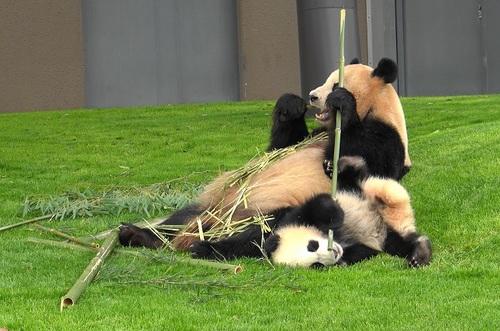 mission co-panda~ママの竹を強奪せよ♪~(16).jpg