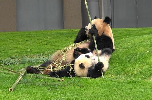 mission co-panda~ママの竹を強奪せよ♪~(17).jpg