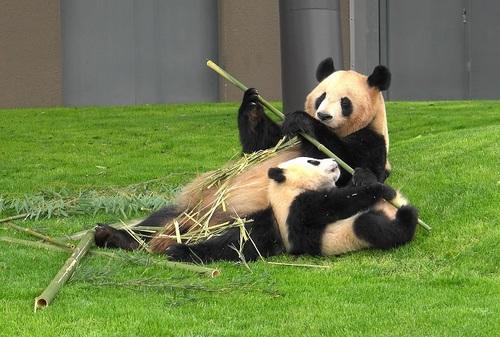 mission co-panda~ママの竹を強奪せよ♪~(18).jpg
