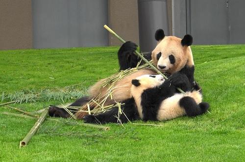 mission co-panda~ママの竹を強奪せよ♪~(19).jpg