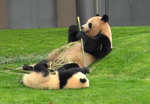 mission co-panda~ママの竹を強奪せよ♪~(2).jpg