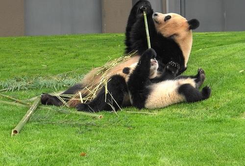 mission co-panda~ママの竹を強奪せよ♪~(20).jpg
