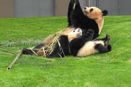 mission co-panda~ママの竹を強奪せよ♪~(21).jpg