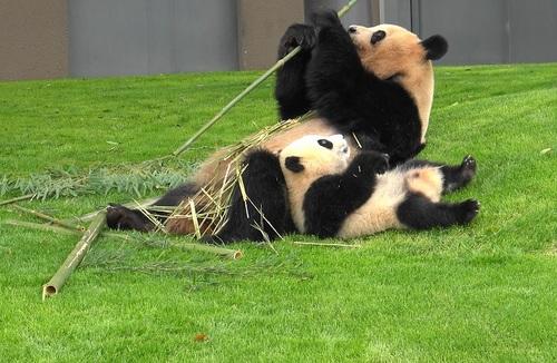 mission co-panda~ママの竹を強奪せよ♪~(22).jpg