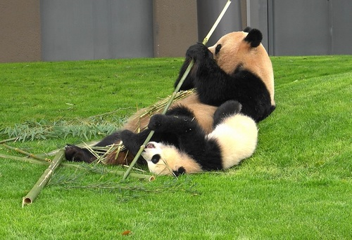 mission co-panda~ママの竹を強奪せよ♪~(23).jpg