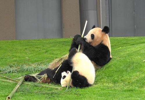 mission co-panda~ママの竹を強奪せよ♪~(24).jpg