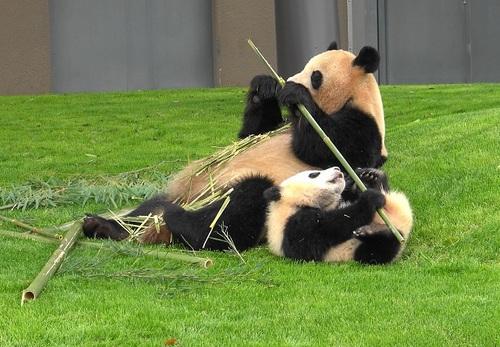 mission co-panda~ママの竹を強奪せよ♪~(25).jpg
