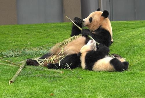 mission co-panda~ママの竹を強奪せよ♪~(26).jpg