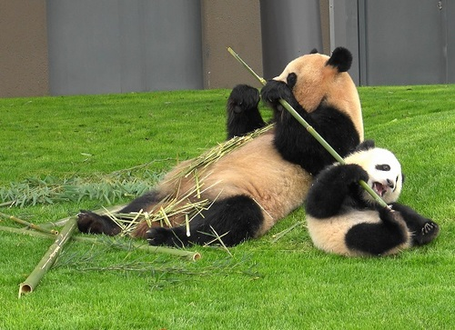 mission co-panda~ママの竹を強奪せよ♪~(27).jpg