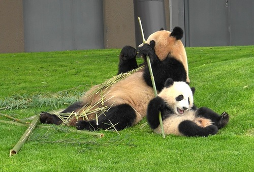 mission co-panda~ママの竹を強奪せよ♪~(28).jpg