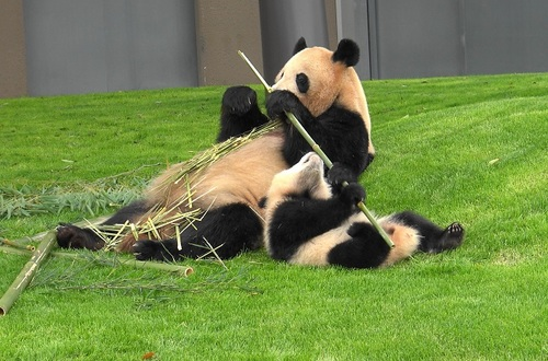 mission co-panda~ママの竹を強奪せよ♪~(29).jpg