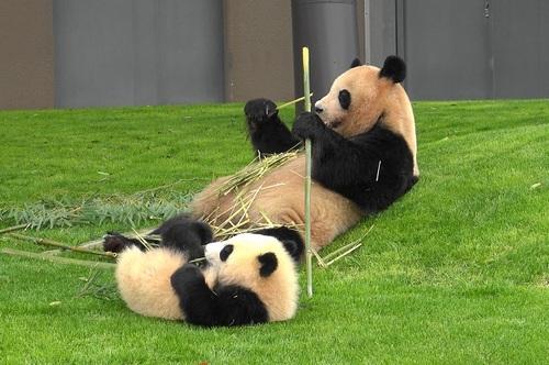 mission co-panda~ママの竹を強奪せよ♪~(3).jpg