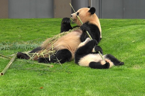 mission co-panda~ママの竹を強奪せよ♪~(30).jpg
