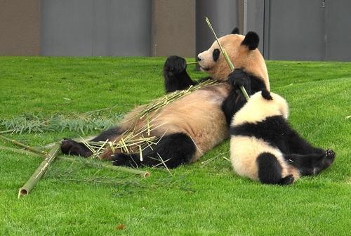 mission co-panda~ママの竹を強奪せよ♪~(31).jpg
