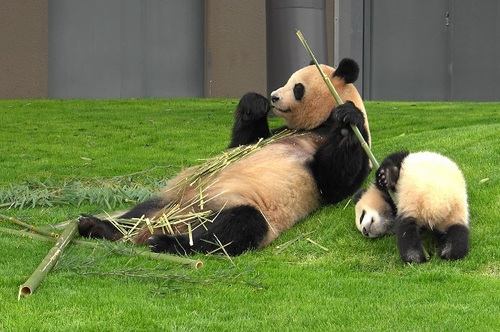 mission co-panda~ママの竹を強奪せよ♪~(32).jpg