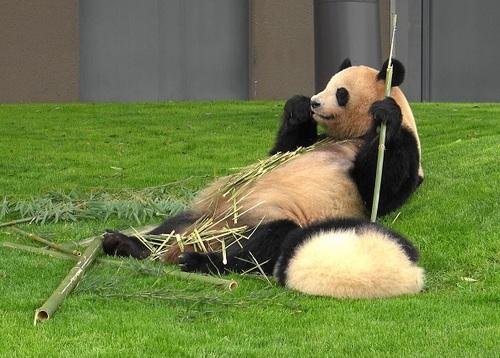 mission co-panda~ママの竹を強奪せよ♪~(33).jpg