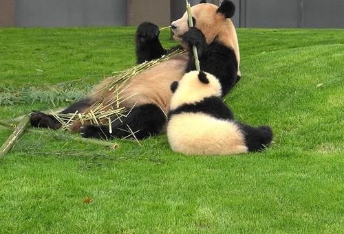 mission co-panda~ママの竹を強奪せよ♪~(35).jpg