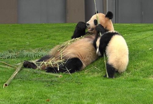 mission co-panda~ママの竹を強奪せよ♪~(36).jpg