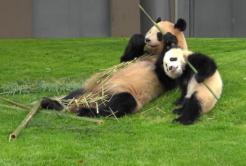 mission co-panda~ママの竹を強奪せよ♪~(37).jpg