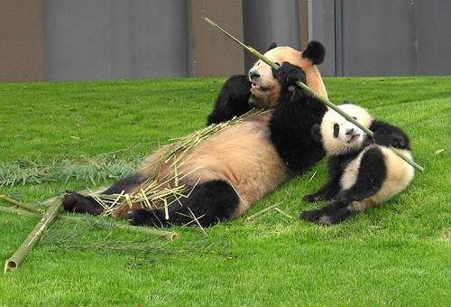mission co-panda~ママの竹を強奪せよ♪~(38).jpg