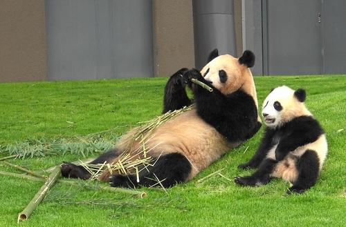 mission co-panda~ママの竹を強奪せよ♪~(39).jpg