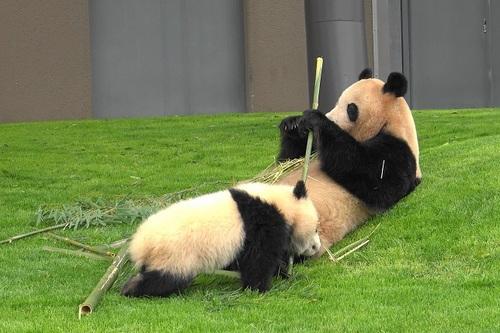 mission co-panda~ママの竹を強奪せよ♪~(4).jpg