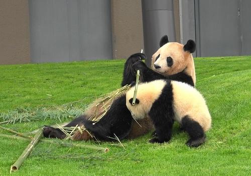 mission co-panda~ママの竹を強奪せよ♪~(40).jpg