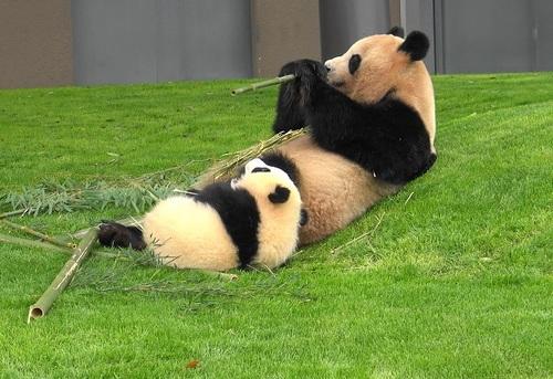 mission co-panda~ママの竹を強奪せよ♪~(43).jpg