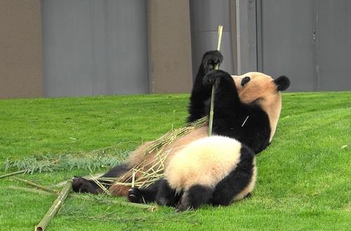 mission co-panda~ママの竹を強奪せよ♪~(5).jpg