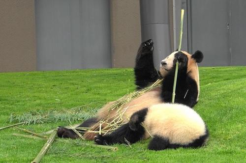 mission co-panda~ママの竹を強奪せよ♪~(6).jpg