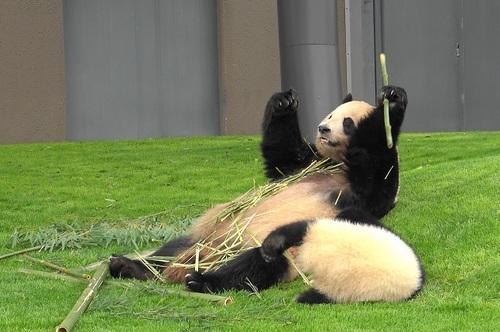 mission co-panda~ママの竹を強奪せよ♪~(7).jpg