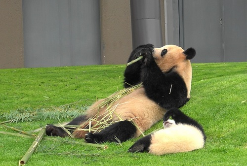 mission co-panda~ママの竹を強奪せよ♪~(8).jpg