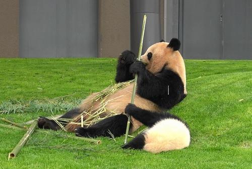 mission co-panda~ママの竹を強奪せよ♪~(9).jpg